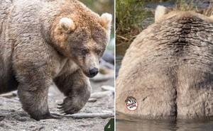 Gấu mẹ vĩ đại là có thật: Vừa tìm ra con gấu béo nhất mùa đông năm nay, nuôi con giỏi đến mức con người cũng phải bái phục