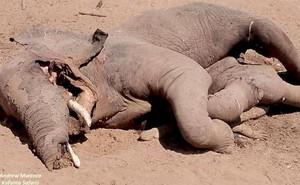 Cá sấu cả gan lao vào hỗn chiến với voi và cái kết bi thảm