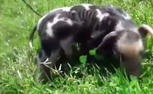 Chú heo con kỳ dị có 6 chân gây xôn xao tại Uruguay