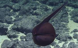 """Thước phim hiếm về tài biến hình """"không thể tin nổi"""" của lươn Gulper"""