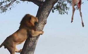 Sư tử trèo cây định cướp miếng ăn của báo hoa mai nhưng bất thành