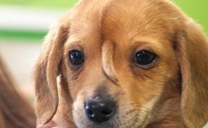 Chú cún con bị dị tật bẩm sinh gây sốt vì chính khiếm khuyết của bản thân