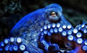 Vì sao gọi bạch tuộc là 'quái vật biển cả'?