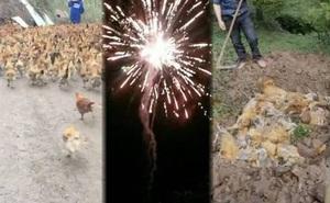 Gần 250 con gà lăn đùng ra chết nghi do tiếng pháo hoa