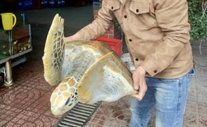 Ngư dân bắt được rùa biển quý hiếm, chủ nhà hàng mua về chăm sóc để thả ra biển
