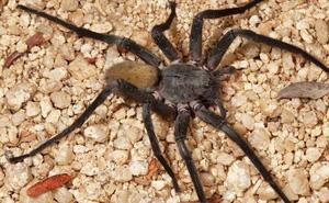 """Giải mã bí ẩn: """"Thợ săn đêm"""" nhện lang thang có thể khiến con người tử vong chỉ với 1 giọt nọc độc"""