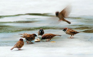 Ngày nào cũng rắc thóc gạo cho chim sẻ đến ăn, người đàn ông không ngờ việc này cứu mạng cả gia đình