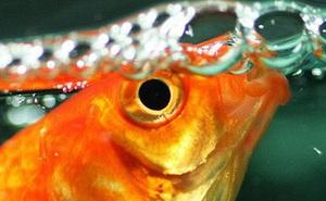1001 thắc mắc: Cá có bao giờ bị khát không, chúng uống nước như thế nào?