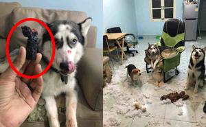 Chó gặm mất cây son của vợ, phá tan hoang căn phòng, người chồng hoang mang tính bỏ trốn