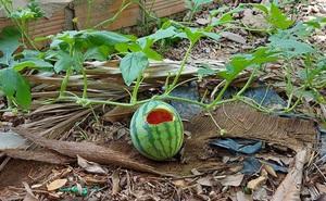 """Sáng ra vườn tưới cây dưa hấu, người đàn ông tiếc """"quặn ruột"""" khi thấy cảnh tượng trước mắt"""