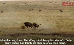 Video: Chúa sơn lâm cắm đầu bỏ chạy vì con mồi nổi cơn thịnh nộ