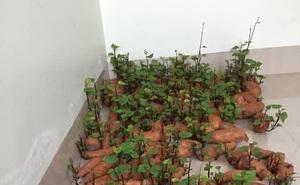 Tích trữ khoai lang giữa mùa dịch, nam thanh niên bất ngờ có rau lang xào tỏi tại gia mà chẳng cần đi chợ