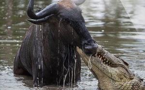 1001 thắc mắc: Hàm cá sấu có gì mà chúng đớp mồi nhanh như điện giật?