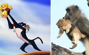 """Ăn cắp sư tử con mang lên cây, khỉ đầu chó vô tình """"cover"""" lại một cảnh phim huyền thoại trong """"Vua Sư Tử"""""""