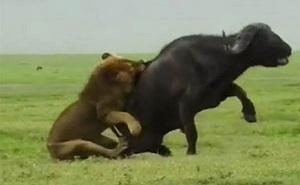 Sư tử đực phô diễn kỹ thuật săn mồi siêu đẳng