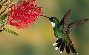 """Giải mã bí ẩn: Sở hữu kỹ thuật bay gì mà chim ruồi được mệnh danh là """"phi cơ thần tốc"""" của thế giới tự nhiên?"""