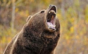 Biến đổi khí hậu nghiêm trọng đến nỗi gấu đang ngủ đông chợt tỉnh dậy sớm cả 2 tháng