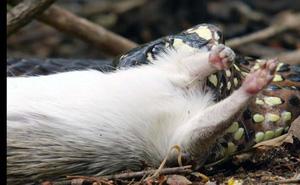 Bầy khỉ 'láu cá' ăn trộm mồi của rắn