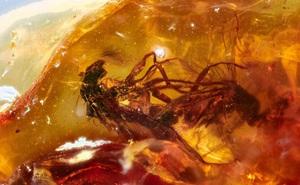 Hai cá thể ruồi đang quan hệ thì bị dính nhựa thông, mắc kẹt trong tư thế nhạy cảm suốt 41 triệu năm