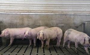 Nghịch cảnh ở Mỹ: Hàng nghìn con lợn bị tiêu hủy mỗi ngày nhưng cả nước khan hiếm thịt lợn, giá tăng gấp đôi, điều gì đang xảy ra?