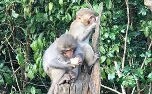 Vì sao khỉ trên núi Sơn Trà đầy thương tích?