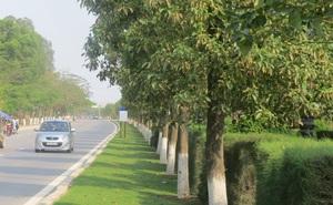 Cận cảnh hơn 1.000 cây long não giá 12 tỷ trên con đường hoa phượng ở Hải Phòng