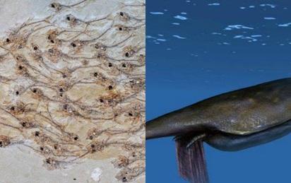 Đàn cá niên đại 50 triệu năm; tôm hùm to hơn người siêu quý hiếm lộ diện đầu tiên trên Trái Đất