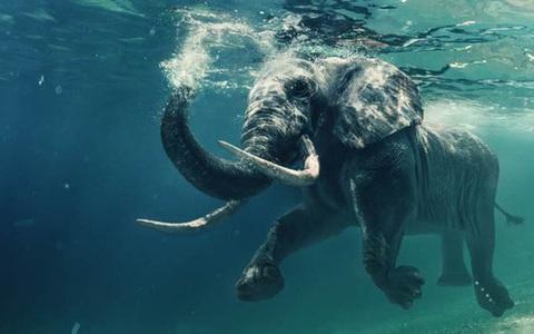 Có thể bạn chưa biết: Loài voi cũng có thể sử dụng ngôn ngữ ký hiệu và ''bất tử'' trước ung thư