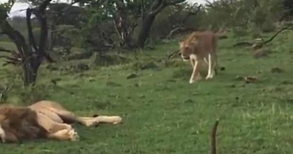 Sư tử suýt giết chết em trai vì ghen tuông