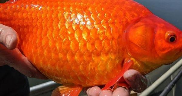 """Mỹ: Thả cá vàng xuống sông hồ, đến lúc vớt lênhóathành """"quái vật"""""""