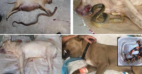 Tại sao khi đối đầu với các loài rắn độc, 'vua chó chọi' Pitbull lại thường thất thế hay bị giết chết?