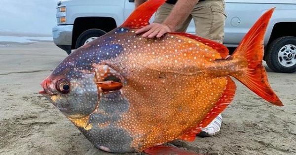 Mỹ: Phát hiện cá mặt trăng nặng 45kg, trôi dạt bờ biển cực kỳ hiếm có