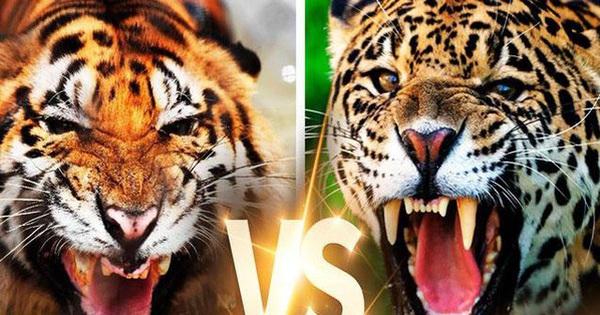 Nếu hổ ác chiến với báo đốm, loài nào sẽ giành chiến thắng?
