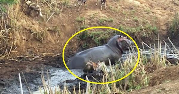 Clip: Hà mã cứu linh dương thoát khỏi nanh vuốt đàn chó hoang