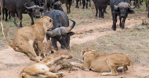 Trâu rừng bị cả đàn sư tử tấn công và điều kỳ diệu xảy ra ở phút chót