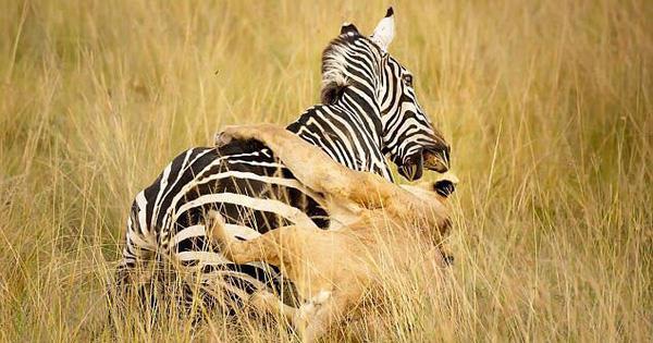 24h qua ảnh: Sư tử lao mình hạ gục ngựa vằn trên đồng cỏ