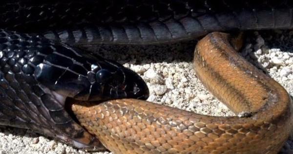 """Chuyện kỳ lạ về loài rắn khiến bạn phát """"sốc"""""""