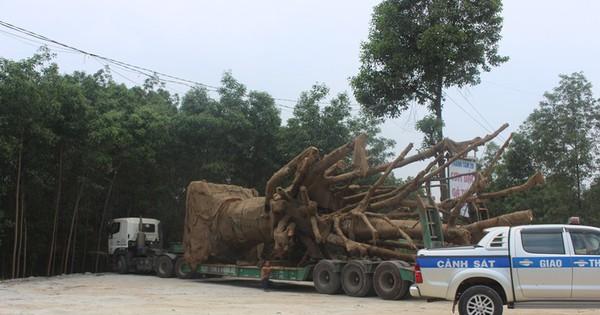 """Cách nào vận chuyển 3 cây khủng như """"quái thú"""" ra Hà Nội?"""