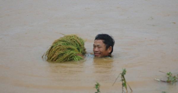 Mưa lũ ở miền núi phía Bắc: 5 người chết, người dân lặn sâu hàng mét để vớt lúa