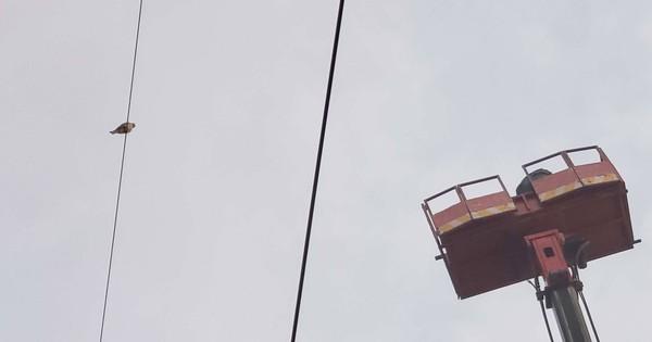 [Ảnh] Giải cứu chim Cắt lưng xám quý hiếm mắc kẹt trên dây điện ở Sài Gòn