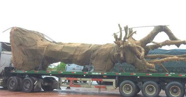 """Tạm giữ xe đầu kéo chở cây """"quái thú"""" vượt quá chiều cao quy định"""