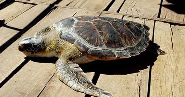 Hà Tĩnh: Thả rùa biển vô cùng quý hiếm về tự nhiên