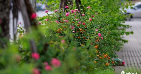 """Hà Nội bỗng xuất hiện """"con đường hoa hồng"""" đầu tiên tuyệt đẹp"""
