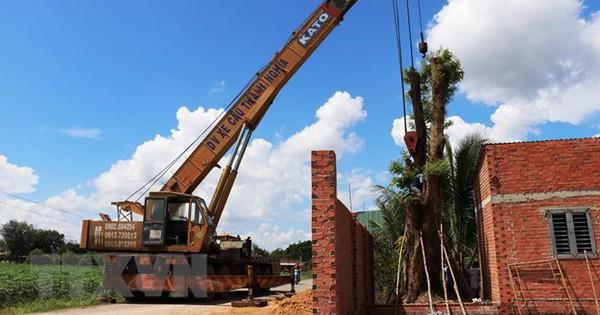 Tây Ninh: Tìm thấy cây giáng hương trên 100 năm tuổi bị đào trộm
