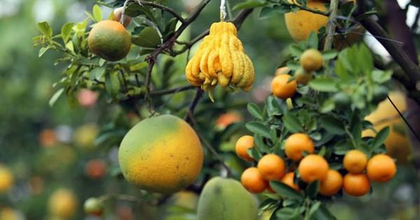 Độc đáo cây 10 loại quả của lão nông ở Hà Nội
