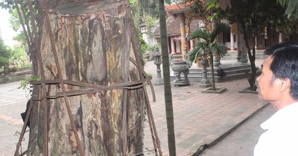 Tiết lộ phương án bảo vệ gỗ từ cây sưa trăm tỷ ở Hà Nội chặt hạ vào ngày 25/1