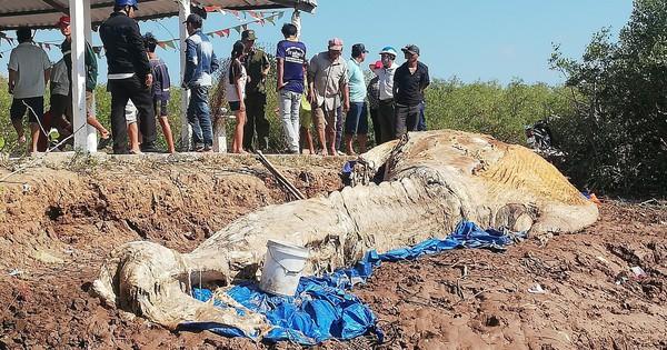 """Xử lý xác cá voi """"khủng"""" đang phân hủy ở Bạc Liêu"""