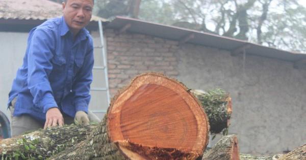 Chính thức chốt ngày bán đấu giá cây sưa từng được trả giá trăm tỷ ở Hà Nội