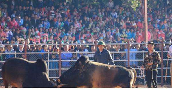 Đầu Xuân xem người dân Điện Biên phấn khởi mang bò khỏe đi thi chọi