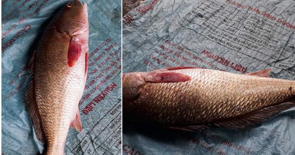 Ngư dân Hà Tĩnh bắt được cá nghi cá sủ vàng quý hiếm nặng 2,5kg